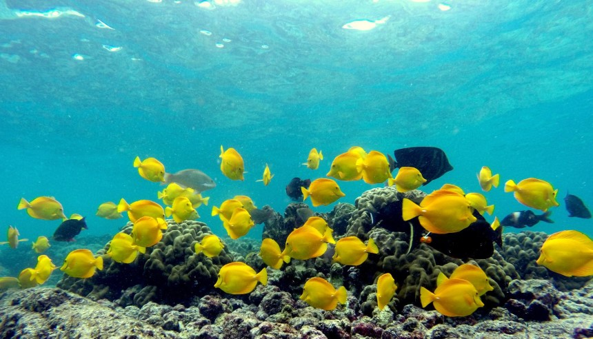 Kawika-Singson-Photographer-on-Fire-hawaii-underwater-photography-school-fish-yellow