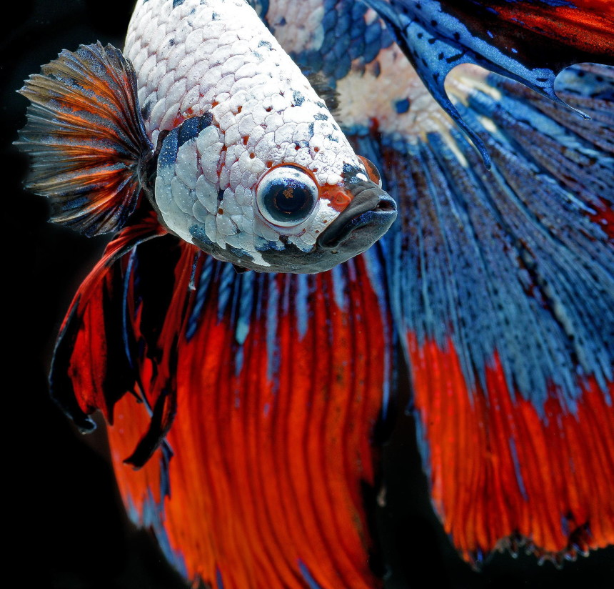 siamese-fighting-fish-underwater-photography-Visarute-Angkatavanich-face-closeup-red-blue