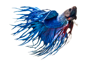 siamese-fighting-fish-underwater-photography-Visarute-Angkatavanich-feature