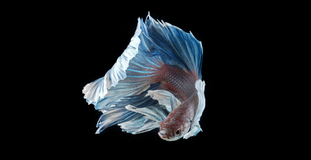Elegant Portraits of Siamese Fighting Fish Emphasize Shape & Movement