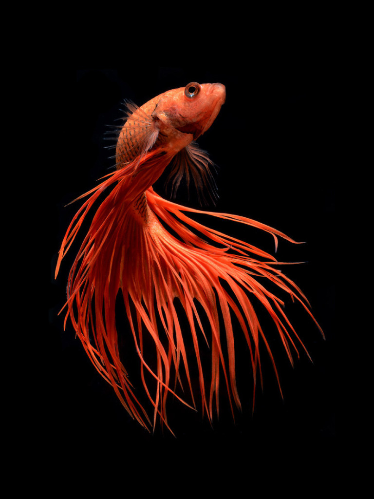 siamese-fighting-fish-underwater-photography-Visarute-Angkatavanich-red