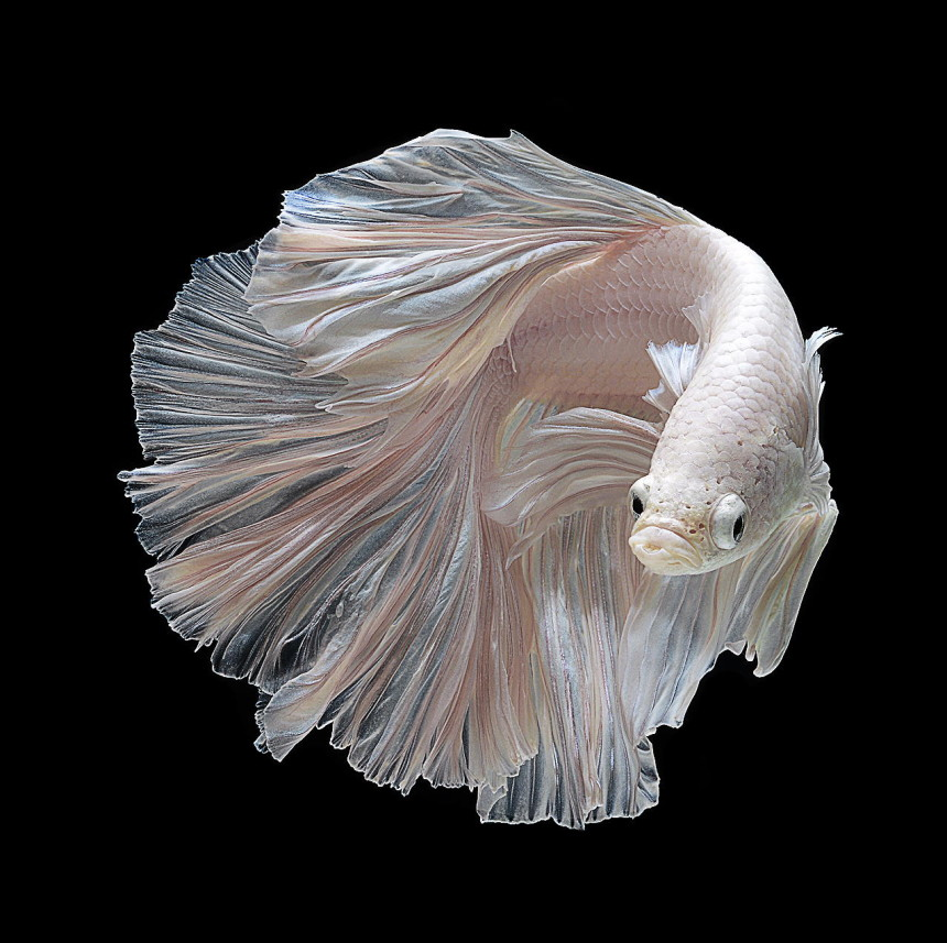 siamese-fighting-fish-underwater-photography-Visarute-Angkatavanich-white-fins